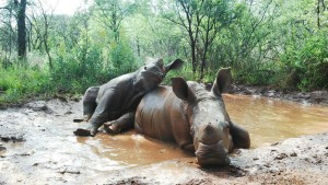 Baby Rhinos Playing