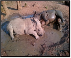 Rhinos in the mud