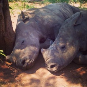 Baby Rhinos Sleeping
