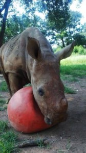 Rhino Playing