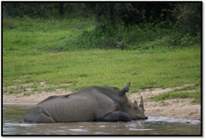 Rhino in the water